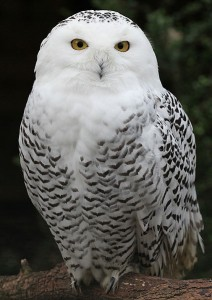 Snowy Owl image courtesy Wikipedia.org